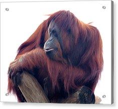 Orangutan - Color Version Acrylic Print by Lana Trussell