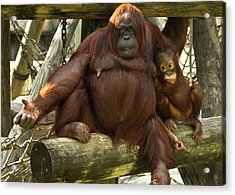 Orangutan Mother And Baby Acrylic Print