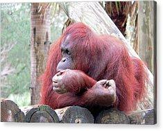 Orangutang Contemplating Acrylic Print by Rosalie Scanlon