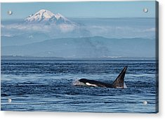 Orca Male With Mt Baker Acrylic Print
