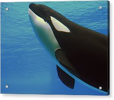 Acrylic Print featuring the photograph Orca by Meagan  Visser