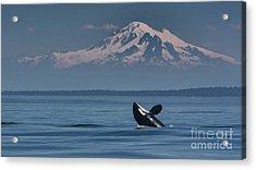 Orca - Mt. Baker Acrylic Print