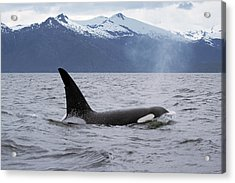 Orca Orcinus Orca Surfacing Acrylic Print by Konrad Wothe