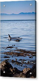 Orca Whales In The San Juan Islands Acrylic Print by Sandy Buckley