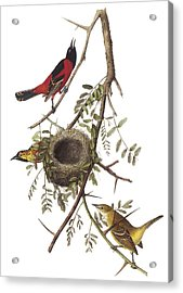 Orchard Oriole Acrylic Print by John James Audubon
