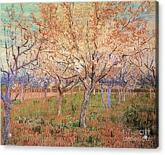 Orchard With Blossoming Apricot Trees Acrylic Print by Vincent Van Gogh