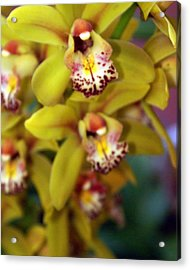 Orchid 11 Acrylic Print by Marty Koch