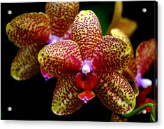 Orchid 15 Acrylic Print by Marty Koch