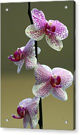 Orchid 16 Acrylic Print by Marty Koch