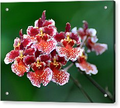 Orchid 31 Acrylic Print by Marty Koch