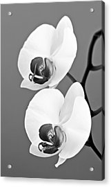 orchid-4- St Lucia Acrylic Print by Chester Williams
