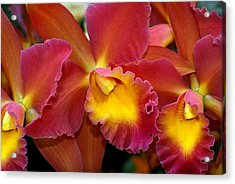 Orchid 8 Acrylic Print by Marty Koch
