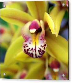 Orchid 9 Acrylic Print by Marty Koch