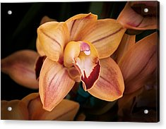Orchid - A Quiet Elegance Acrylic Print by Tom Mc Nemar