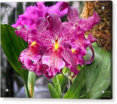 Orchid Aliceara Marfitch Acrylic Print