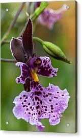 Orchid - Caucaea Rhodosticta Acrylic Print