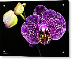 Orchid Acrylic Print by Christopher Holmes