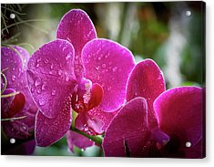 Orchid Dew Acrylic Print