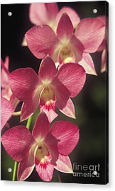 Orchid Flowers Acrylic Print by Kyle Rothenborg - Printscapes