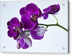 Orchid No. 2 Acrylic Print by Harry H Hicklin