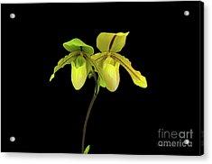 Orchid Paphiopedilum Druid Spring Acrylic Print