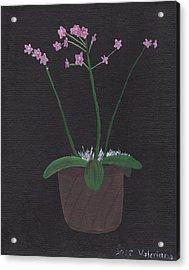 Orchid-phalaeropsis Hybrid Acrylic Print