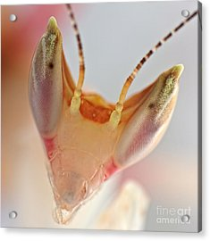 Acrylic Print featuring the photograph Orchid Praying Mantis by Joerg Lingnau