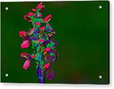 Orchid Acrylic Print by Richard Patmore