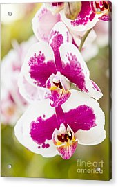 Orchid Wings Acrylic Print by A New Focus Photography