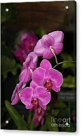 Orchids Alicia Acrylic Print by The Art of Alice Terrill