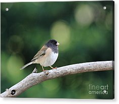 Oregon Junco Acrylic Print by Wingsdomain Art and Photography
