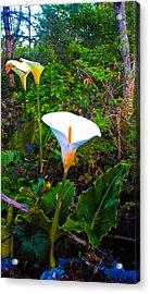 Oregon Wild Calla Lilies Acrylic Print