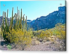 Organ Pipe Cactus In Arch Canyon In Organ Pipe Cactus National Monument-arizona  Acrylic Print by Ruth Hager