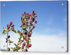 Organic Handpicked Home Orchard Raspberries,blackberries From Bu Acrylic Print by Jingjits Photography