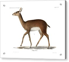 Acrylic Print featuring the drawing Oribi, A Small African Antelope by J D L Franz Wagner