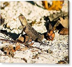 Oriental Garden Lizard A Dragon In The Maldives Acrylic Print by Chris Smith
