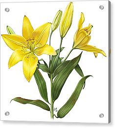 Oriental Lily Yellow Acrylic Print by Artellus Artworks