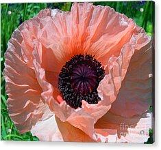 Oriental Poppy Acrylic Print by Addie Hocynec