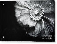 Oriental Poppy Acrylic Print by Charmian Vistaunet