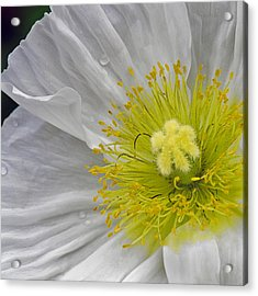 Acrylic Print featuring the photograph Oriental Poppy by Thanh Thuy Nguyen