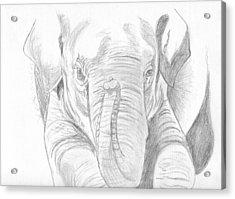 Original Pencil Sketch Elephant Acrylic Print by Shannon Ivins