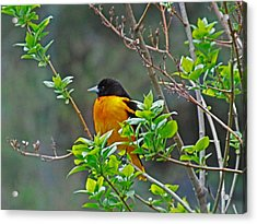 Oriole On The Lilac Acrylic Print by Larry Capra