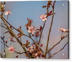 Purple Leaf Sandcherry Blossoms Acrylic Print
