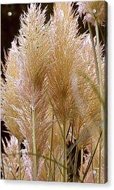 Ornamental Grass Acrylic Print by Chris Brewington Photography LLC
