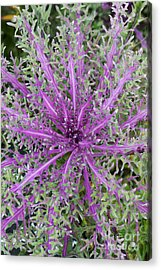 Ornamental Kale Red Peacock Acrylic Print by Tim Gainey