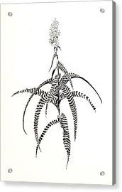 Orthophytum Gurkenii Acrylic Print