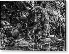 Oservant Black Bear  Acrylic Print