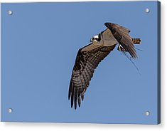 Acrylic Print featuring the photograph Osprey 2017-1 by Thomas Young