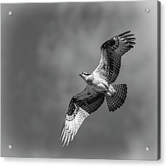 Acrylic Print featuring the photograph Osprey 2017-4 by Thomas Young