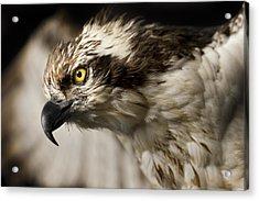 Osprey Acrylic Print by Adam Romanowicz